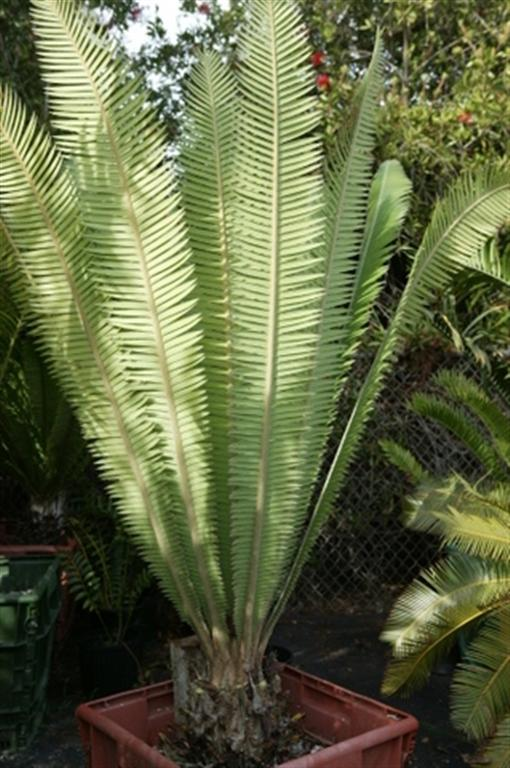 Rare and Unusual Cycads For Sale