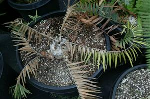 Cycad Problems