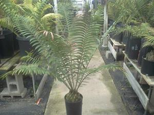 well rooted cycad