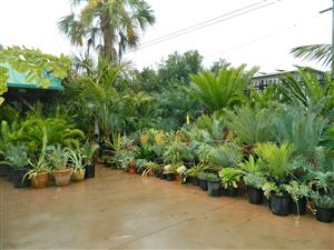 Front Of Jungle Music Palms And Cycads Tropical Plants