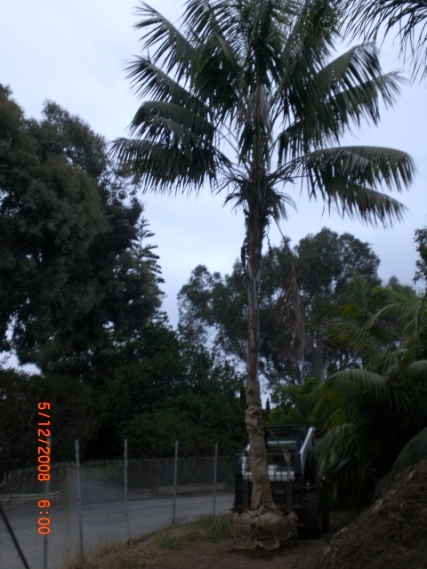 Kentia Palm large