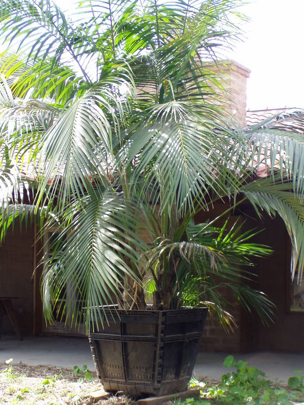 Howea Palm specimen