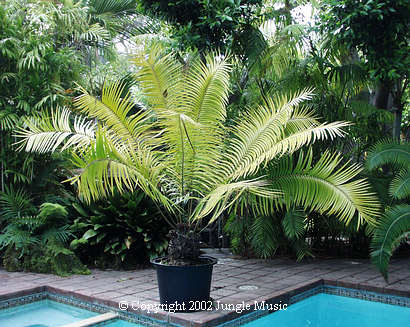 CERATOZAMIA ROBUSTA PDF DOWNLOAD