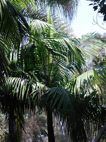 King Palm at the home