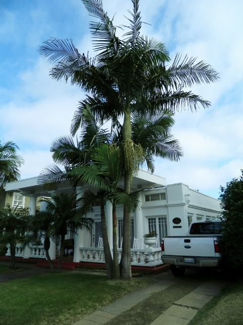 King Palm at house