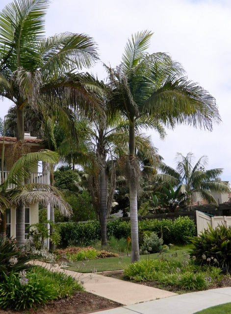 King Palms at house