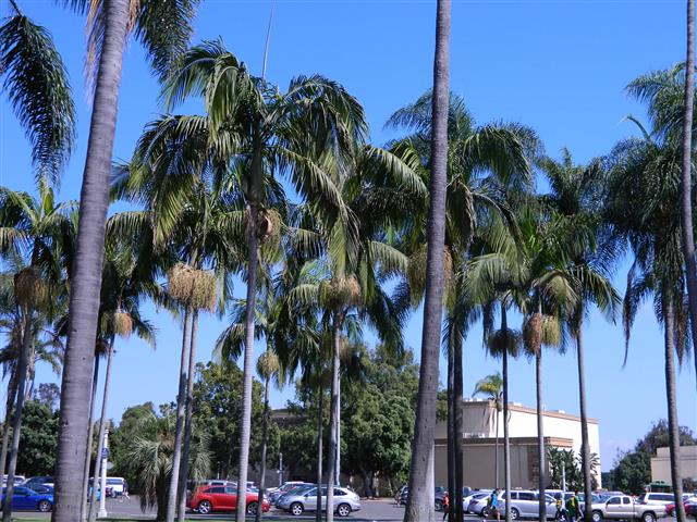 King palms in lawn area Balboa park