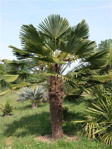 trachycarpus the windmill palm. Black Bedroom Furniture Sets. Home Design Ideas