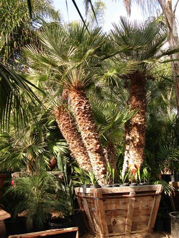 The Mediterranean Fan Palm Chamaerops Humilis