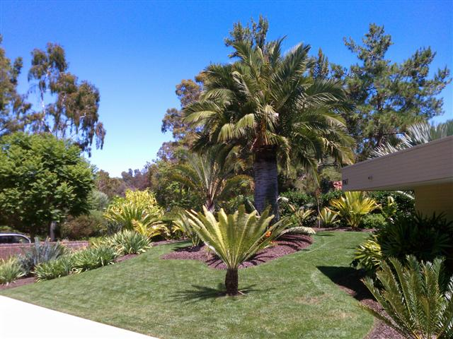 High Quality Jubaea Chilensis In The Garden ...