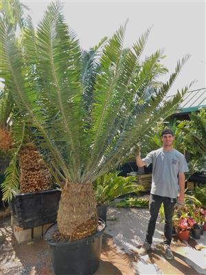 Encephalartos manikensis type 45 gallon caudex 21 x 31.5 inches