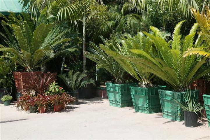 Assorted cycads