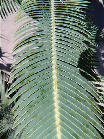 Dioon merolae