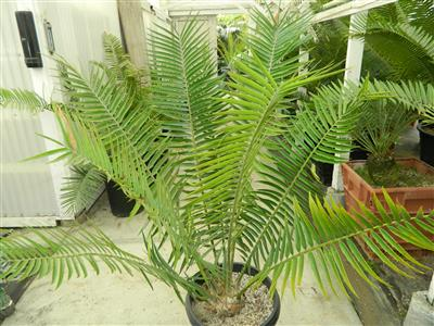 encephalartos paucidentatus