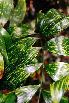 Zamia picta variegata - unknown author