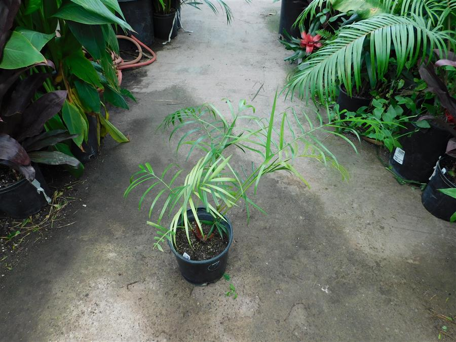 Dypsis species red stems