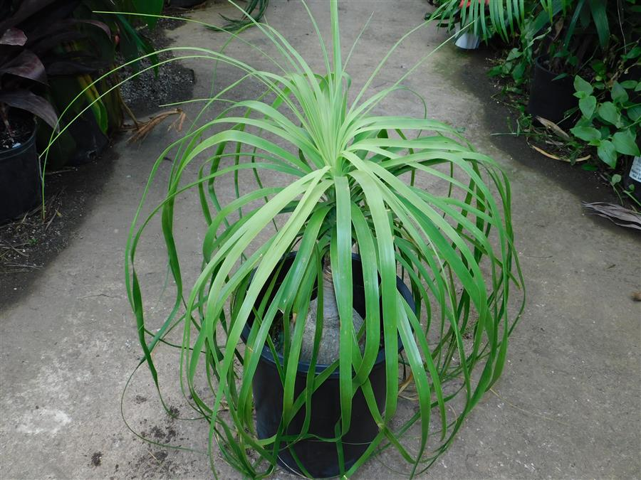 Beaucarnia recurvata, pony tail palm