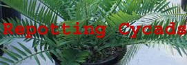 Repotting Cycads Banner
