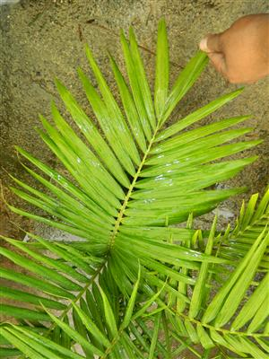 King Palm Triple