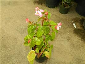 Begonia richmondensis