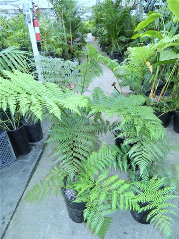 assorted ferns