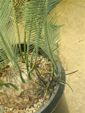 Dioon caputoi