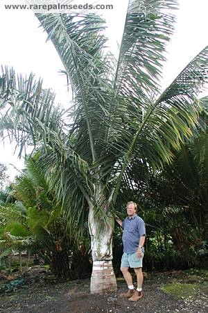 Dypsis robusta c/o TS RPS with jeff Marcus