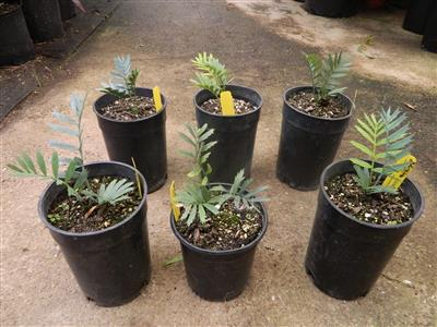 small cycads