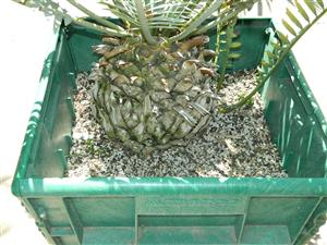 Encephalartos horridus box