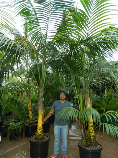 Howea large plants