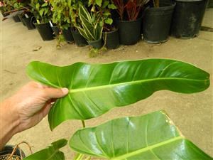 Philodendron species