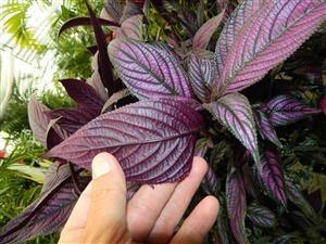 Strobilanthus purple