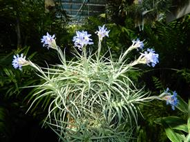 Tillandsia cluster in bloom