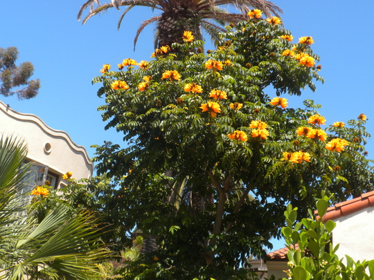 Yellow African Tulip TRee Grows on you website