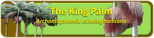 King Palm Banner