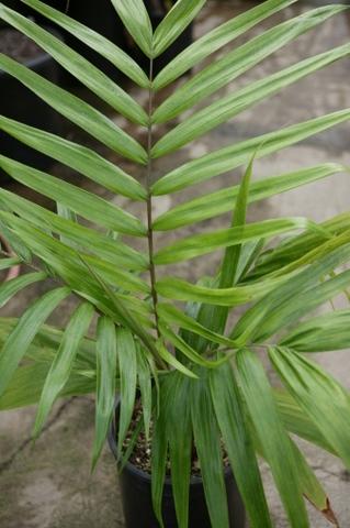 Burretiokentia koghiensis