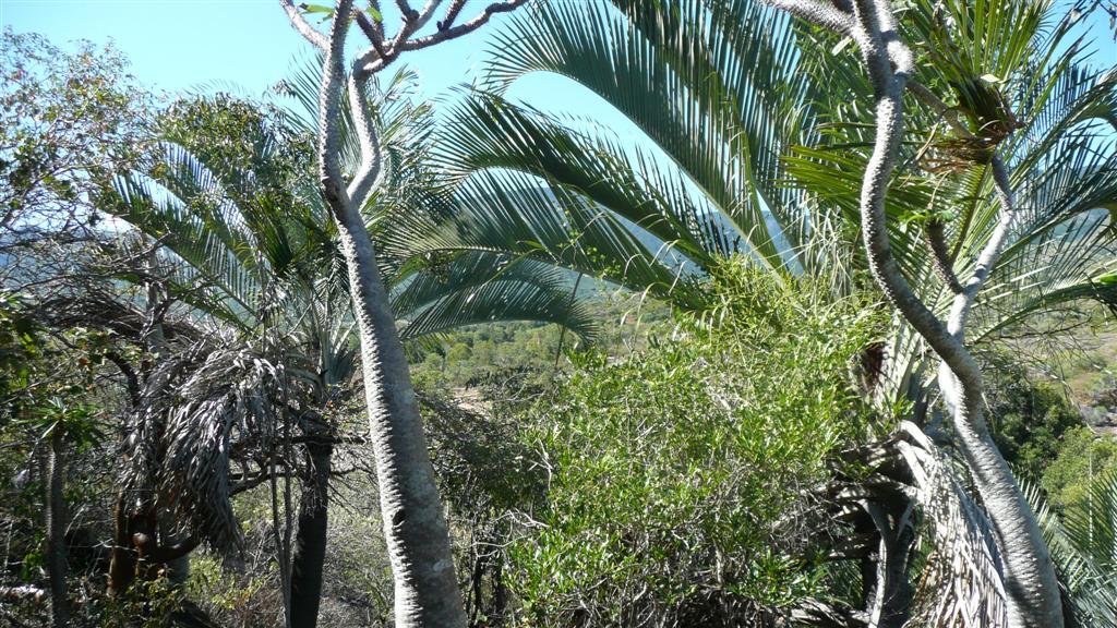 Dypsis decaryi Madagascar