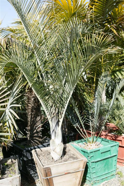 Dypsis decaryi box