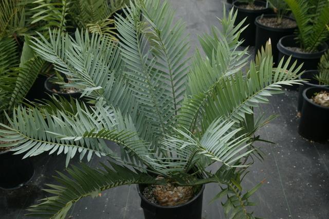 E. lehmanii