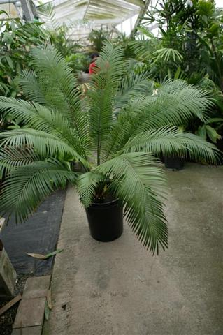 Cycas thoarsii 15g