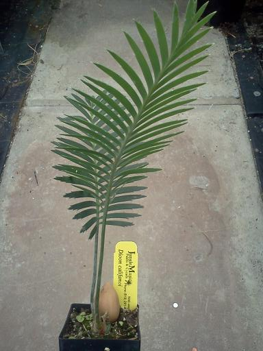 Dioon califanoi