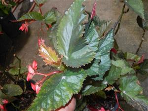 Angel wing Begonia pink blossom