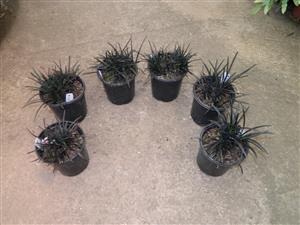 Black Mondo Grass Ophiopogon planscapus nigrescens