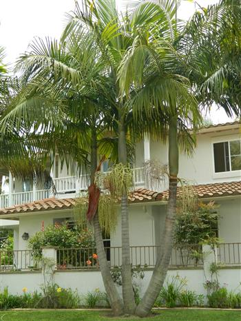 Palm Tree Landscape - Placement of Palms - Palm Garden Design
