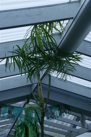 Chamaedorea glaucifolia
