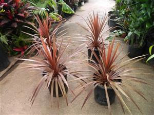 Cordyline australis red