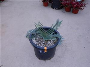 Encephalartos horridus 2 INCHES 84