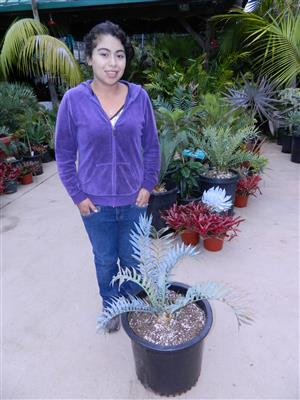 Encephalartos horridus 2.5 INCHES 81