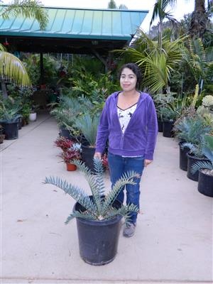 Encephalartos horridus 2.75 INCHES 69