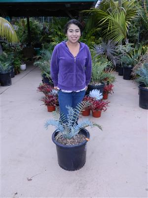 Encephalartos horridus 2.75 INCHES 80